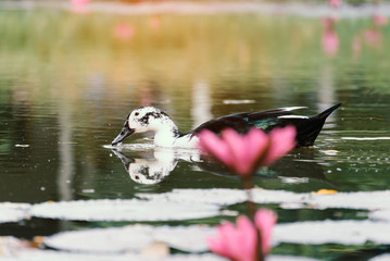 White ducks in a pond with lotus pink.