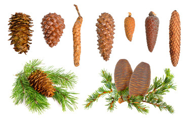 Coniferous cones collection
