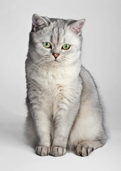Domestic Cat. Gray British Shorthair cat sitting in front.