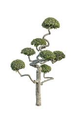 bonsai tree,decorated tree,streblus asper ,Siamese rough bush,to