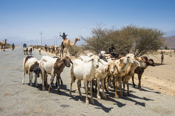 Herds of animals walking in the lowlands of Eritrea, Africa