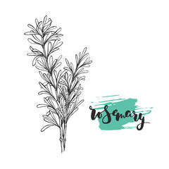 Rosemary sketch illustration. Nice hand drawn plant with calligraphic name.