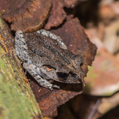 Gray glossy frog with dark back sitting on the ledge (Indonesia)