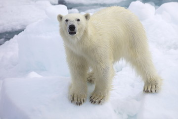 Polar bear on sea ice off coast of Spitzbergen, Svalbard, Arctic Norway, Scandinavia, Europe