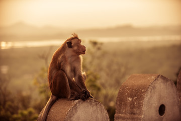 Macaques, Red or Temple monkey at the Dambulla cave temple in Sri Lanka