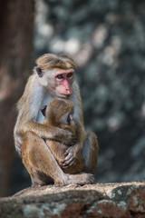 Sri Lanka: monkey and its baby in Sigiriya