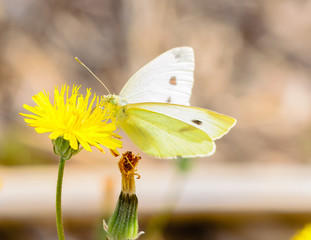 White butterfly on yellow innkeeper