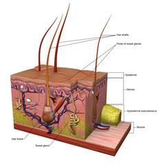 Anatomy of Skin Labeled