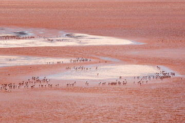 Flamingoes in Laguna Colorada