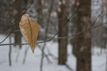 Single Beech Leaf on Barren Tree