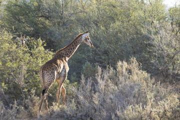 Giraffe (Giraffa camelopardalis), Inverdoorn Game Reserve, Karoo desert, Ceres, Western Cape, South Africa, Africa