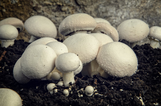 Home cultivation of button mushrooms