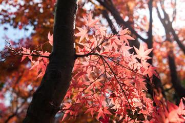 Maple trees in Autumn season.Japan