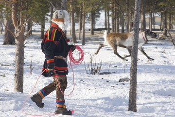 Sami man attempts to lasso a reindeer at his homestead, Kiruna, Lapland, arctic Sweden, Scandinavia, Europe