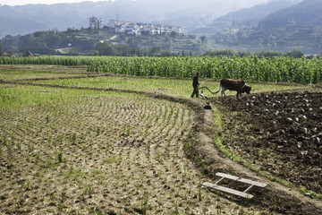 Farmer with water buffalo plowing a rice field, Chengkan village, China, Asia