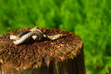 Grey snake on the stump