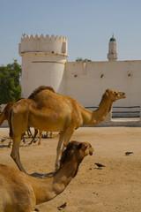 Camels in Camel Souq, Waqif Souq, Doha, Qatar, Middle East