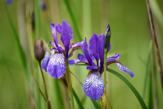Wild violet iris flower growing in nature, summer seasonal floral background