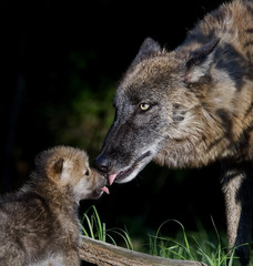 mother wolf greeting pup