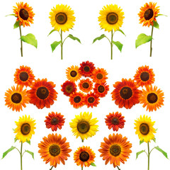 Sunflowers collection on the white background. Yellow and red fl