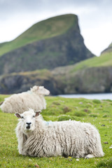 Domestic sheeps lying on pasture