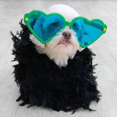 Glamorous dog wearing a fashion clothing  with plumes and a large heart-shaped glasses. The most fashionable dog.