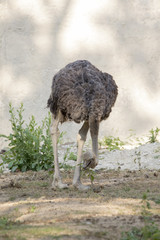 Image of an ostrich on nature background. Wild Animals.