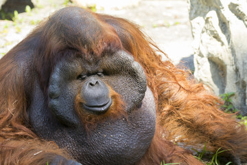 Image of a big male orangutan orange monkey on natural backgroun