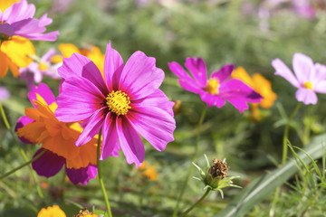 cosmos flowers in the garden. over sunlight and soft-focus in the background