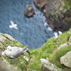 Wild Northern fulmar (Fulmarus glacialis), Village Bay, Hirta island, St. Kilda Islands, Outer Hebrides, Scotland, United Kingdom, Europe