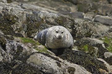 Seal on rocks, United Kingdom, Europe