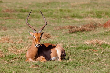Waterbuck on green grass, Western Cape, South Africa, Africa