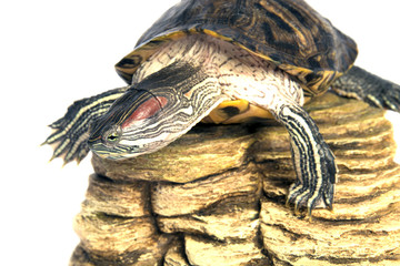 tuttle trachemys scripta isolated