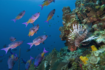 Creole wrasse (Clepticus parrae) and lionfish (Pterois volitans), Roatan, Bay Islands, Honduras, Caribbean, Central America