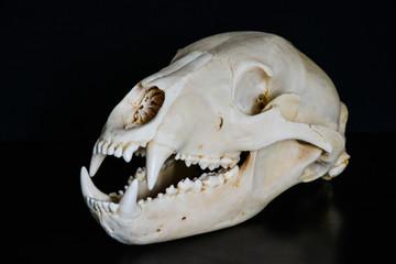 Skull of a bear