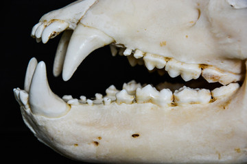 Teeth from the skull of a bear