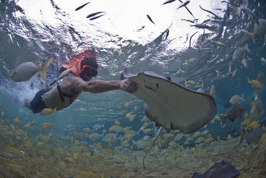 Diver touching stingray (Dasyatis thetidis), Cozumel, Mexico