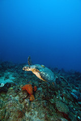Hawksbill turtle (Eretmochelys) with a tracking device on its back, Dominica, West Indies, Caribbean, Central America