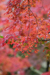 Red maple on tree