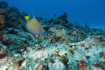 Sea turtle (Chelonioidea) and queen angelfish (Holacanthus ciliaris) eating together, Cozumel, Mexico, Caribbean, North America