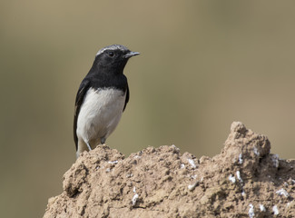Variable Wheatear (Oenanthe picata)