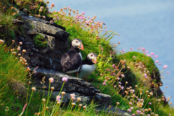 Two puffins, Westray, Orkney Islands, Scotland, United Kingdom, Europe