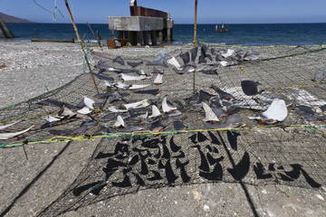 Shark fins drying in the sun, Gulf of California (Sea of Cortez), Baja California Sur, Mexico, North America