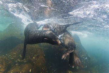 Galapagos fur seal (Arctocephalus galapagoensis) bulls mock-fighting underwater, Genovesa Island, Galapagos Islands, Ecuador, South America
