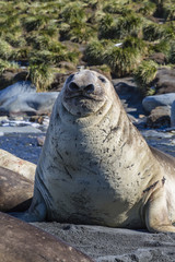 Portrait of Southern elephant seal