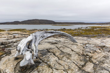 Bowhead whale skull (Balaena mysticetus) at the abandoned Kekerten Island whaling station, Nunavut, Canada, North America