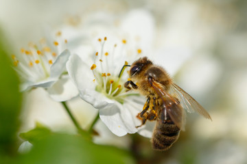 Spoed Fotobehang Bee Bee on white flower