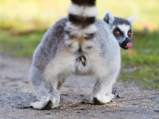 Ring-tailed lemur (Lemur catta), selective focus
