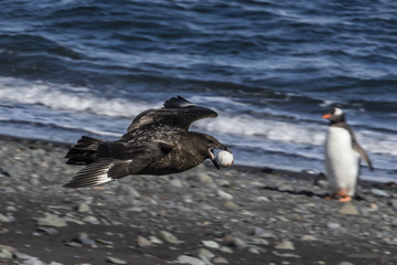 An adult brown skua (Stercorarius spp), in flight with a stolen penguin egg at Barrientos Island, Antarctica, Polar Regions