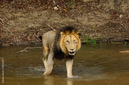 Black maned male lion crossing a river, Sabi Sand Game Reserve, South Africa